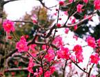 2012年 2月19日 小石川後楽園「春を呼ぶ小石川後楽園 黄門様のお庭で梅まつり」