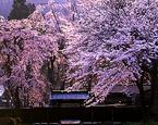 5月3日 秋田県 桜の角館 二胡ライブ